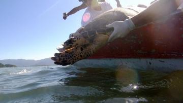 Tartarugas são devolvidas ao mar após seis meses de tratamento em Guarujá